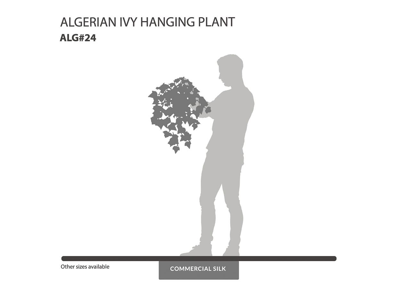 Algerian Ivy Hanging Plant ID# ALG#24