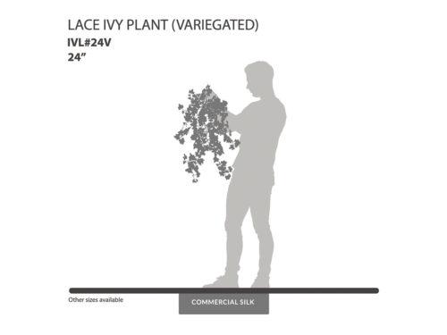 Lace Ivy Vine, Variegated ID# IVL#24V