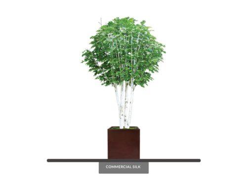 Birch Tree ID# 14603