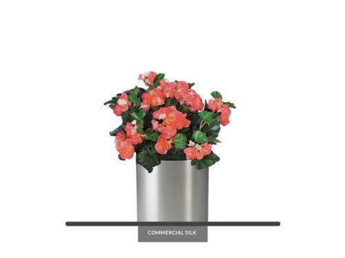 Begonia Plant, Flowering ID# BEG115R