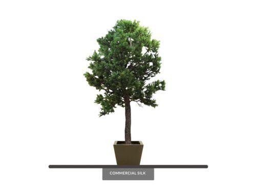 Aleppo Pine Tree ID# 4202