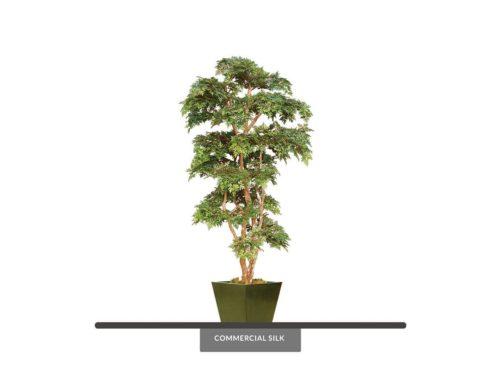 Ming Aralia Tree ID# AMCE72