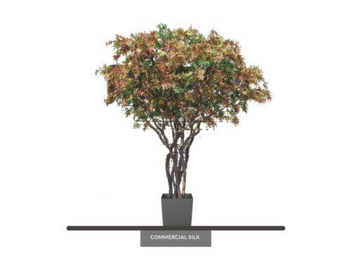 Japanese Maple Tree ID# 5584