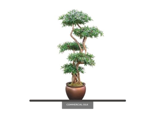 Podocarpus Bonsai Tree ID# CUSTPOBX0