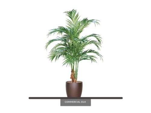 Butterfly Palm Tree ID# BUTC84