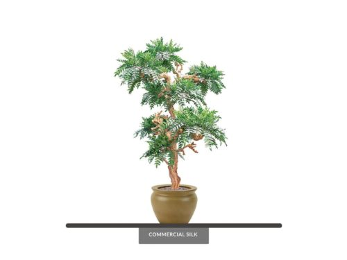 Acacia Bonsai Tree ID# 2519