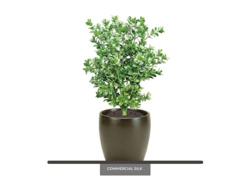 Large Leaf Boxwood Plant (exterior) ID# BOX119LL+