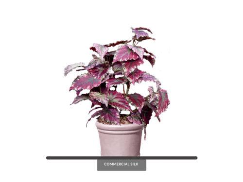 Rex Begonia Plant ID# REX121P, REX221S