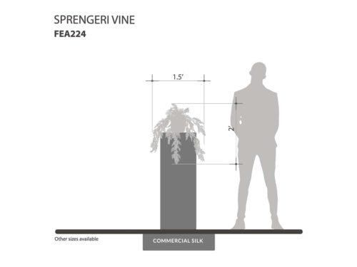 Accent Sprengeri Vine ID# FEA224
