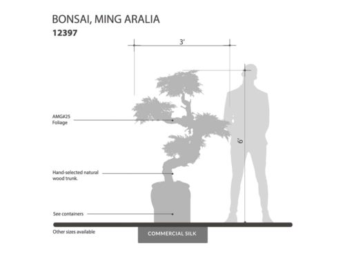 Ming Aralia Bonsai Tree ID# 12397