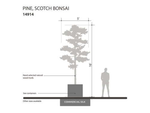 Scotch Pine Bonsai Tree ID# 14914