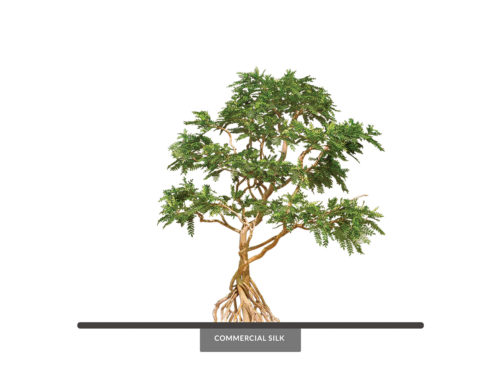 Acacia Bonsai Tree, Windswept ID# 101309