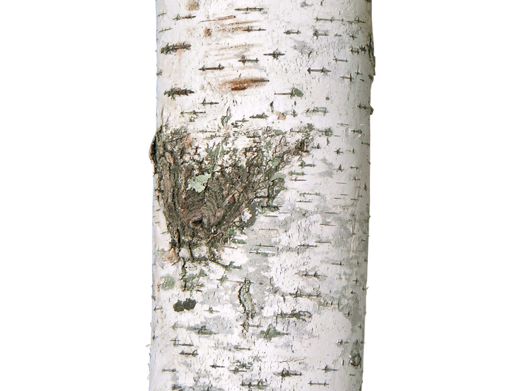 Birch Tree ID# 14603