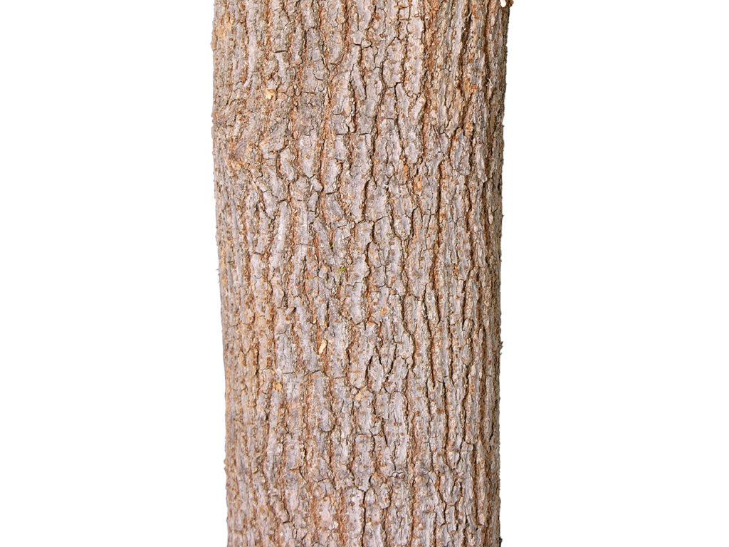 Live Oak Tree ID# OKLT96G