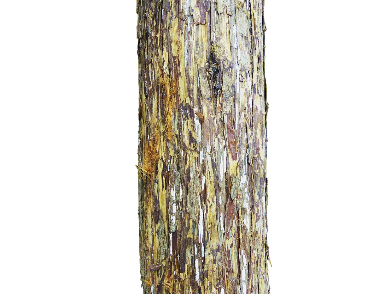 Cedar Spiral Tree ID# CEDS60